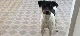 Cão está perdido em Ribeirão Bonito