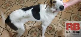 Procura-se dono de cão encontrado perdido em Ribeirão Bonito