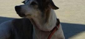 Cachorra está desaparecida no Centro de Ribeirão Bonito